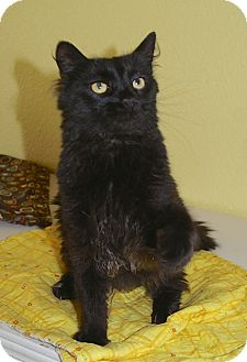 American Shorthair Cat for adoption in Englewood, Florida - Gracie