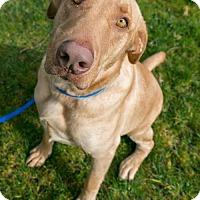 Adopt A Pet :: Marley - Seattle, WA