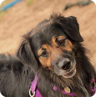 Australian Shepherd Dog for adoption in Freeport, Florida - Jack A Roo