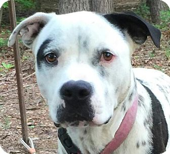 Bulldog/Dalmatian Mix Dog for adoption in Hagerstown, Maryland - Pongo