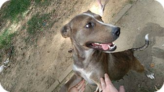 Retriever (Unknown Type) Mix Dog for adoption in Triangle, Virginia - Leah