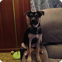 Belgian Malinois/German Shepherd Dog Mix Puppy for adoption in Morrisville, North Carolina - Gambol