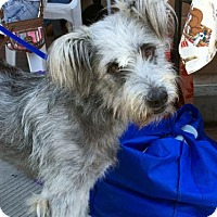Skye Terrier/Wheaten Terrier Mix Dog for adoption in Agoura Hills, California - 'SWEETY'