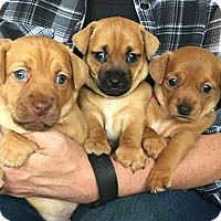 Adopt A Pet :: Chi-Doxie Mix Puppies - Pacific Grove, CA
