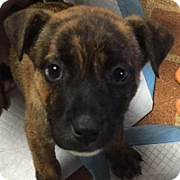 Adopt A Pet :: Lucy - Pending - Northville, MI