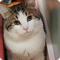 Domestic Shorthair Cat for adoption in Brimfield, Massachusetts - Bismark
