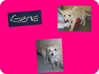 Norfolk Terrier Mix Puppy for adoption in Plano, Texas - GENA