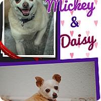 Adopt A Pet :: Mickey - Apache Junction, AZ
