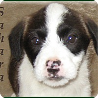 Adopt A Pet :: Sahara - Marlborough, MA