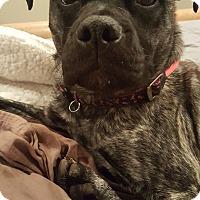 Adopt A Pet :: Nikki - Oakland, MI