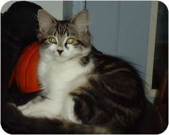 Domestic Mediumhair Kitten for adoption in Elmira, Ontario - Rosie