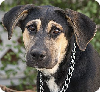 German Shepherd Dog Mix Dog for adoption in Los Angeles, California - Nikie von Nidda
