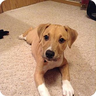 ... Seattle, WA | American Staffordshire Terrier/Australian Cattle Dog Mix