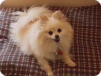 Pomeranian Dog for adoption in Hesperus, Colorado - PIPPIN