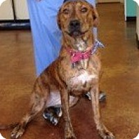 Adopt A Pet :: Bree - Courtesy Posting - New Canaan, CT