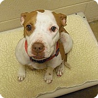 Adopt A Pet :: Bambi - Wickenburg, AZ