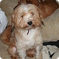 Adopt A Pet :: Teddy - Westfield, IN