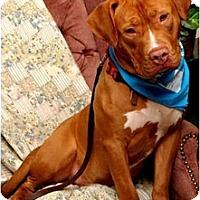 Adopt A Pet :: Red - Auburn, CA