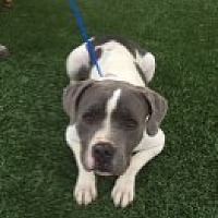 Adopt A Pet :: Bella - Las Vegas, NV