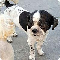 Adopt A Pet :: MAXIMUS - Winnetka, CA