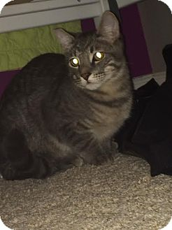 Domestic Shorthair Cat for adoption in Alamo, California - Dylan