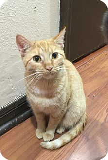 Domestic Shorthair Cat for adoption in Land O Lakes, Florida - Autumn