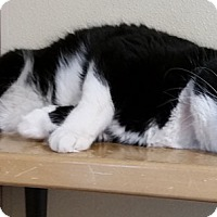 Adopt A Pet :: Tux - Lakewood, CO
