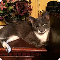 Domestic Shorthair Cat for adoption in Jacksonville, Florida - Sadie