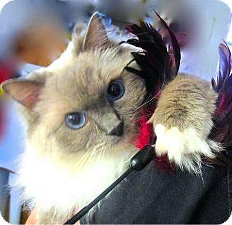 Birman Cat for adoption in Davis, California - Gabriella