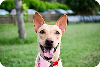 Jindo Mix Dog for adoption in San Francisco, California - Paula