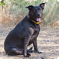 Shepherd (Unknown Type)/Labrador Retriever Mix Dog for adoption in Washoe Valley, Nevada - Retzi