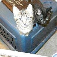 Adopt A Pet :: Bobtail Babies - Clearwater, FL