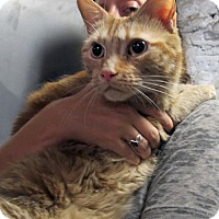 Adopt A Pet :: Pippin: Fabulous Big Orange Tabby! - Brooklyn, NY