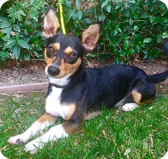 Corgi Mix Dog for adoption in San Diego, California - PHOENIX