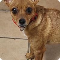 Adopt A Pet :: Kangaroo - Yuba City, CA