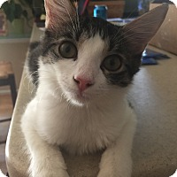 Domestic Mediumhair Kitten for adoption in Baltimore, Maryland - Frenchy