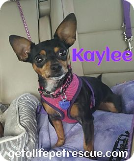 Chihuahua Mix Dog for adoption in Wellington, Florida - Kaylee