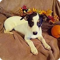 Boston Terrier/Labrador Retriever Mix Puppy for adoption in Manchester, New Hampshire - Daphne