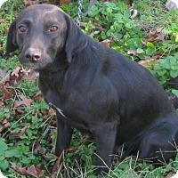 Labrador Retriever/American Staffordshire Terrier Mix Dog for adoption in Hillsboro, Ohio - Lady