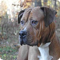 Mastiff Mix Dog for adoption in Pittsburgh, Pennsylvania - SARGE