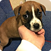 Adopt A Pet :: Gemma - Boulder, CO