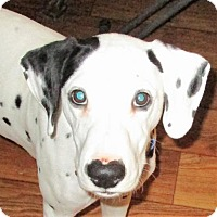 Adopt A Pet :: Chase #2 - Adelphi, MD