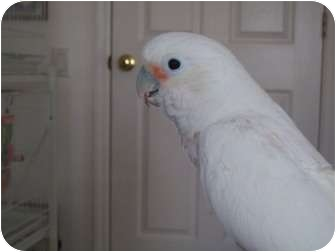 Cockatoo for adoption in Punta Gorda, Florida - Nugget