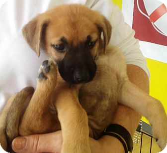 German Shepherd Boxer Mix Puppies German shepherd dog boxer mixGerman Shepherd Boxer Mix Puppies