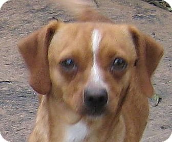 Beagle/Pug Mix Dog for adoption in Oakley, California - Candace