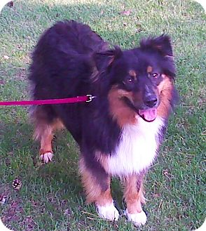 Australian Shepherd Dog for adoption in Minneapolis, Minnesota - Sadie
