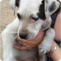 Adopt A Pet :: Cookie - Gilbert, AZ