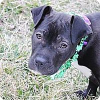 Adopt A Pet :: Scarlett - Reisterstown, MD