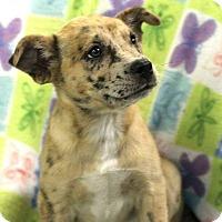Adopt A Pet :: Lena-in CT - East Hartford, CT