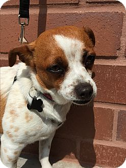Parson Russell Terrier/Rat Terrier Mix Dog for adoption in Los Angeles, California - Barnaby